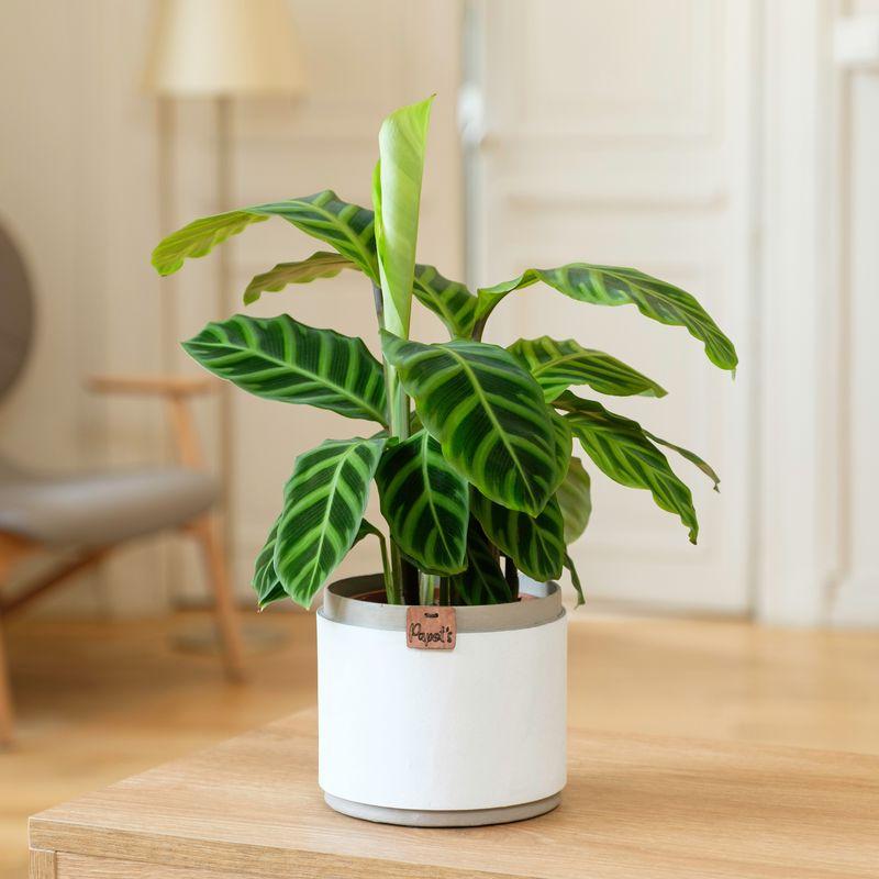 Interflora Calathea Zebrina - Plantes à domicile - Livraison Interflora en 24H