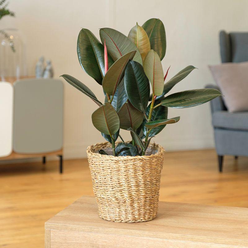 Interflora Ficus Elastica Abidjan - Livraison Plante à Domicile - Plante d'intérieur - Interflora