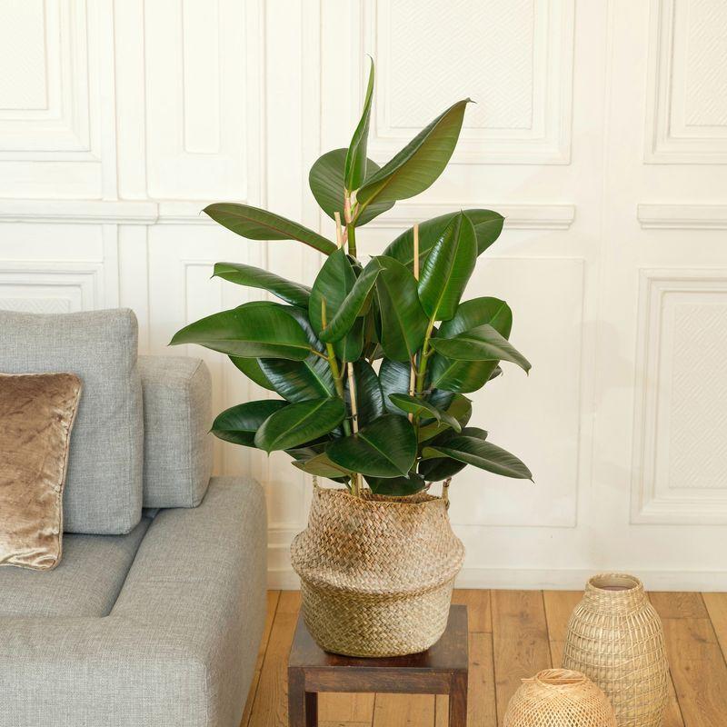 Interflora Ficus Elastica Robusta - Livraison Plantes à Domicile en 24H - Plante Verte Intérieur - Interflora