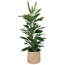 Interflora Ficus Cyathistipula