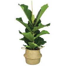 Interflora Ficus Lyrata
