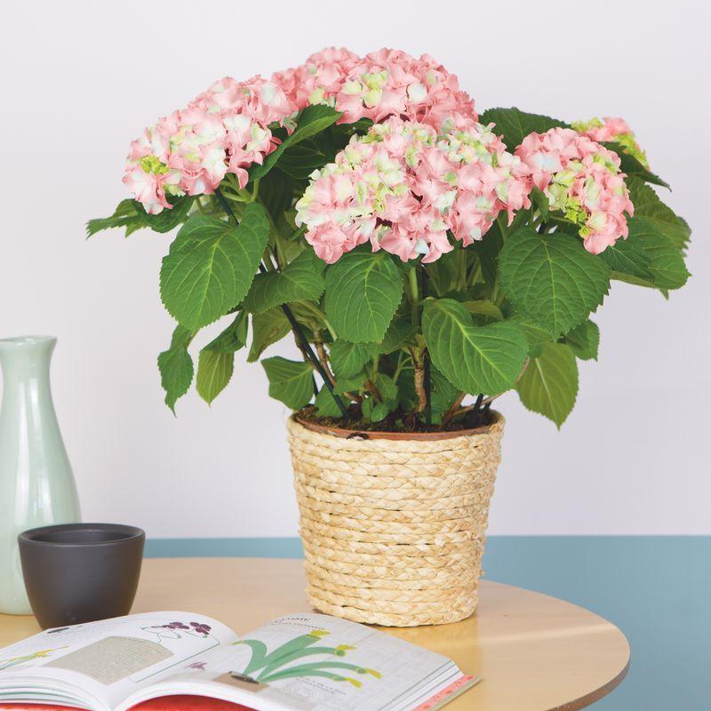 Interflora Hortensia en Pot - Livraison Plantes Interflora