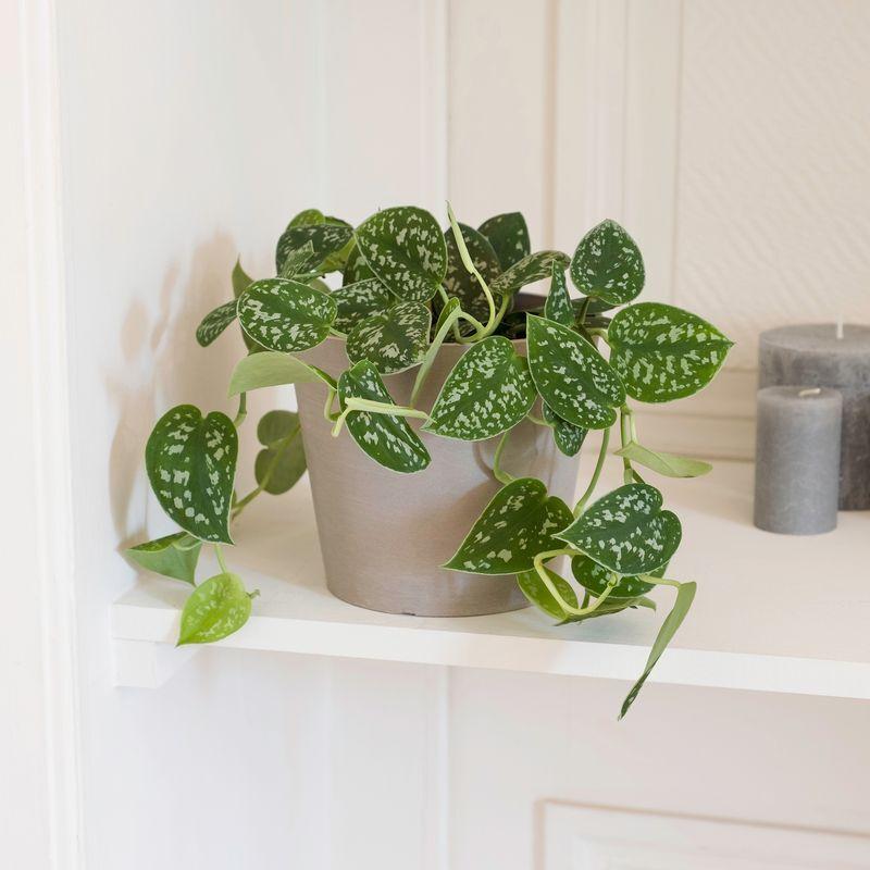 Interflora Pothos - Livraison par Chronopost - L'atelier Interflora - Interflora