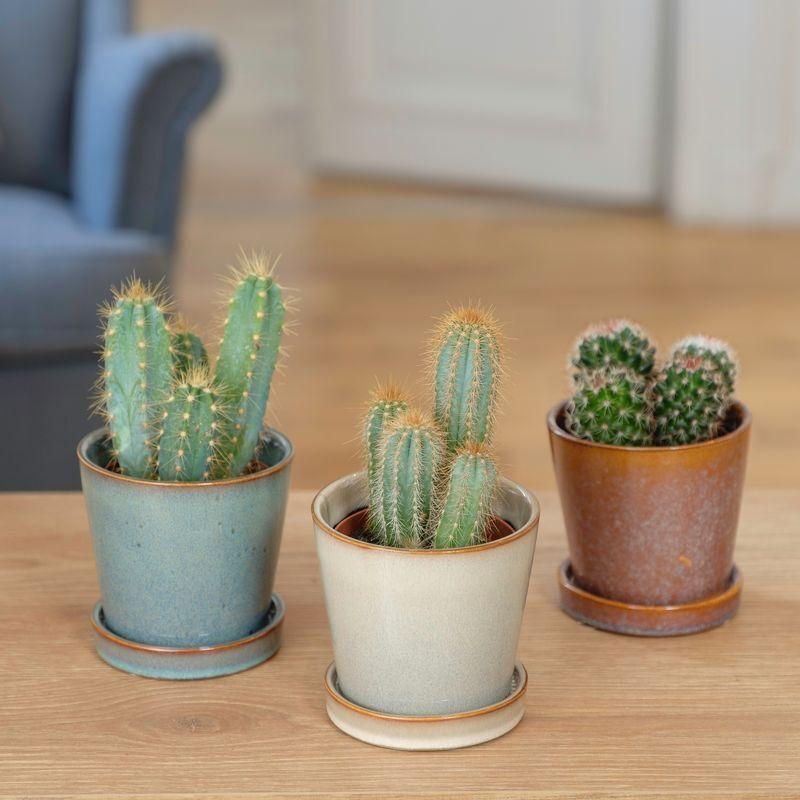 Interflora Trio de Cactus - Livraison à domicile en 24H - Interflora