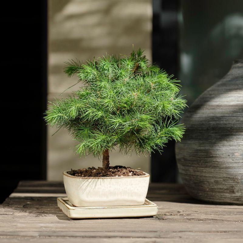 Interflora Bonsaï Pinus - Livraison Plantes Extérieures en 24H - Interflora
