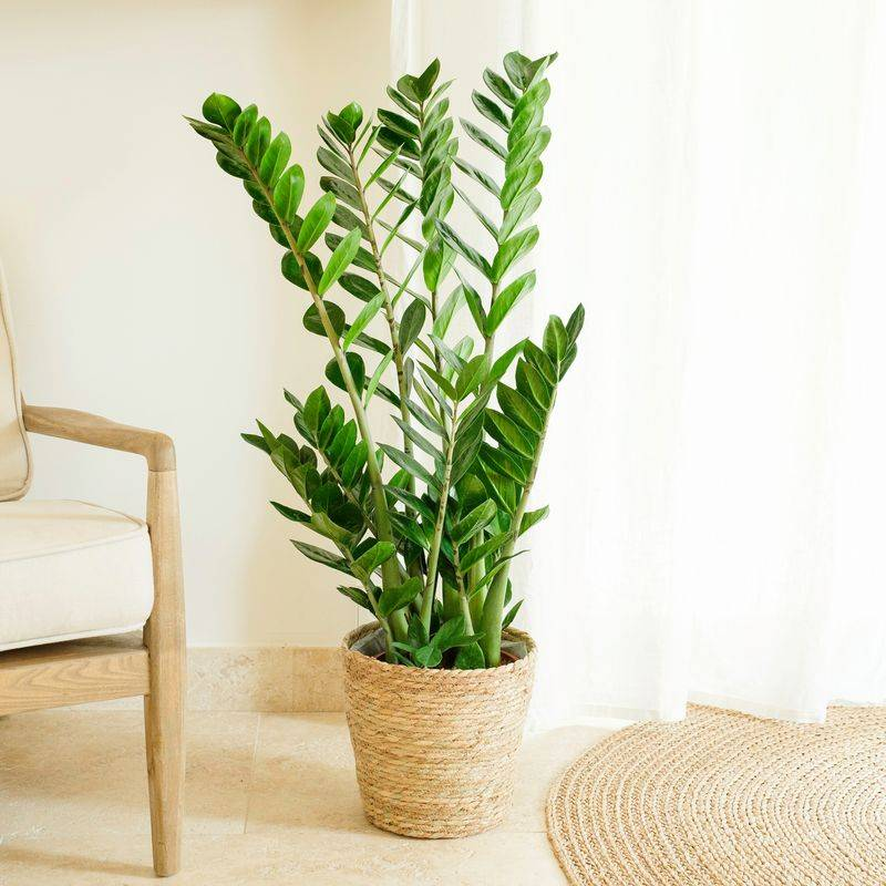 Interflora Zamioculcas - Livraison Plante à Domicile - Plantes d'intérieur - Interflora