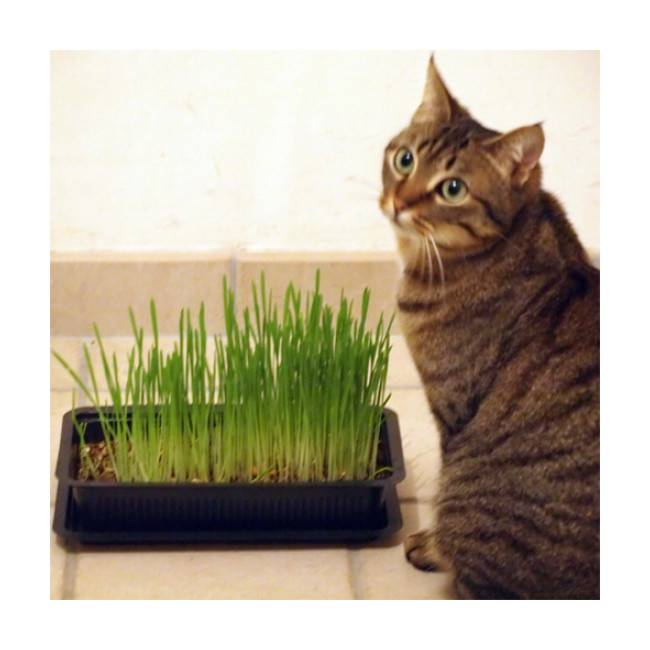 Vitakraft Herbe Cat-Gras pour chat