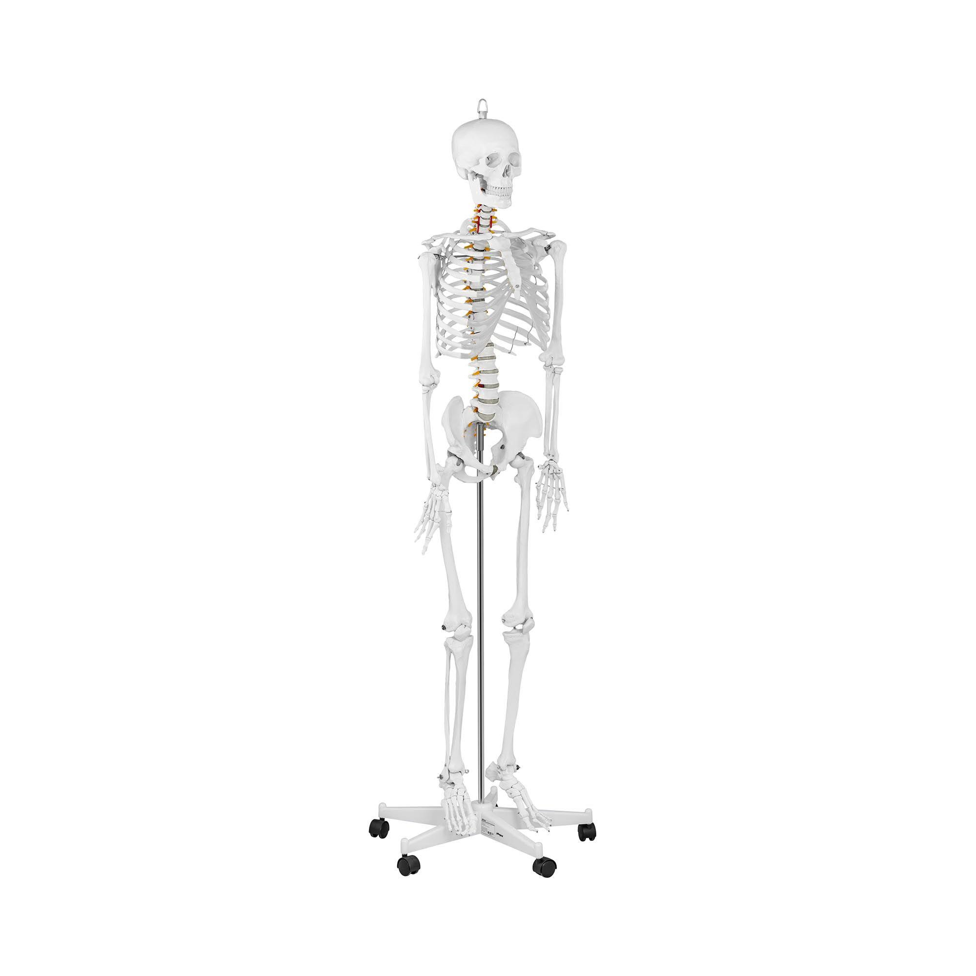 physa Maquette du squelette humain PHY-SK-1 - grandeur nature