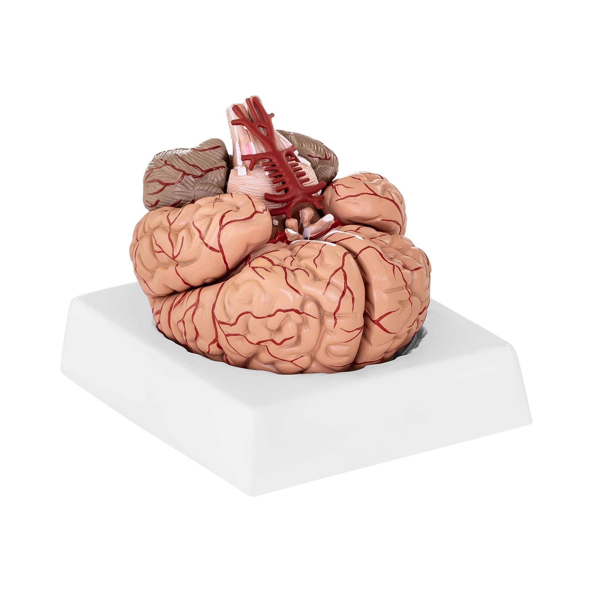 physa Maquette anatomique cerveau humain PHY-BM-1