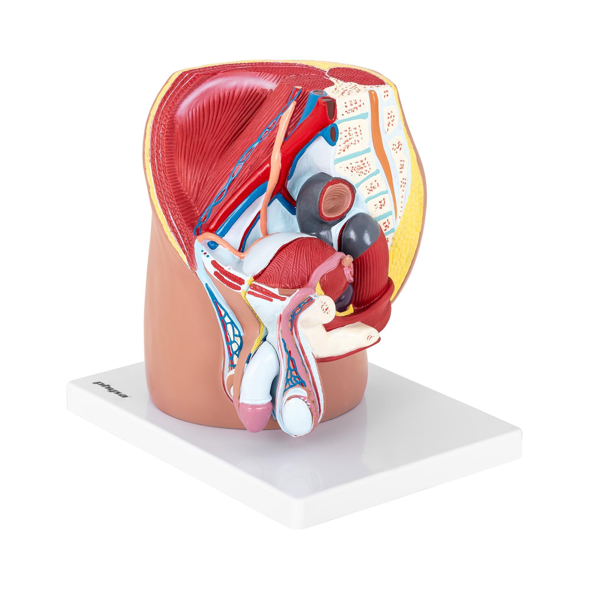 physa Maquette anatomique bassin et appareil génital masculin - En 4 parties - Grandeur nature PHY-MP-1