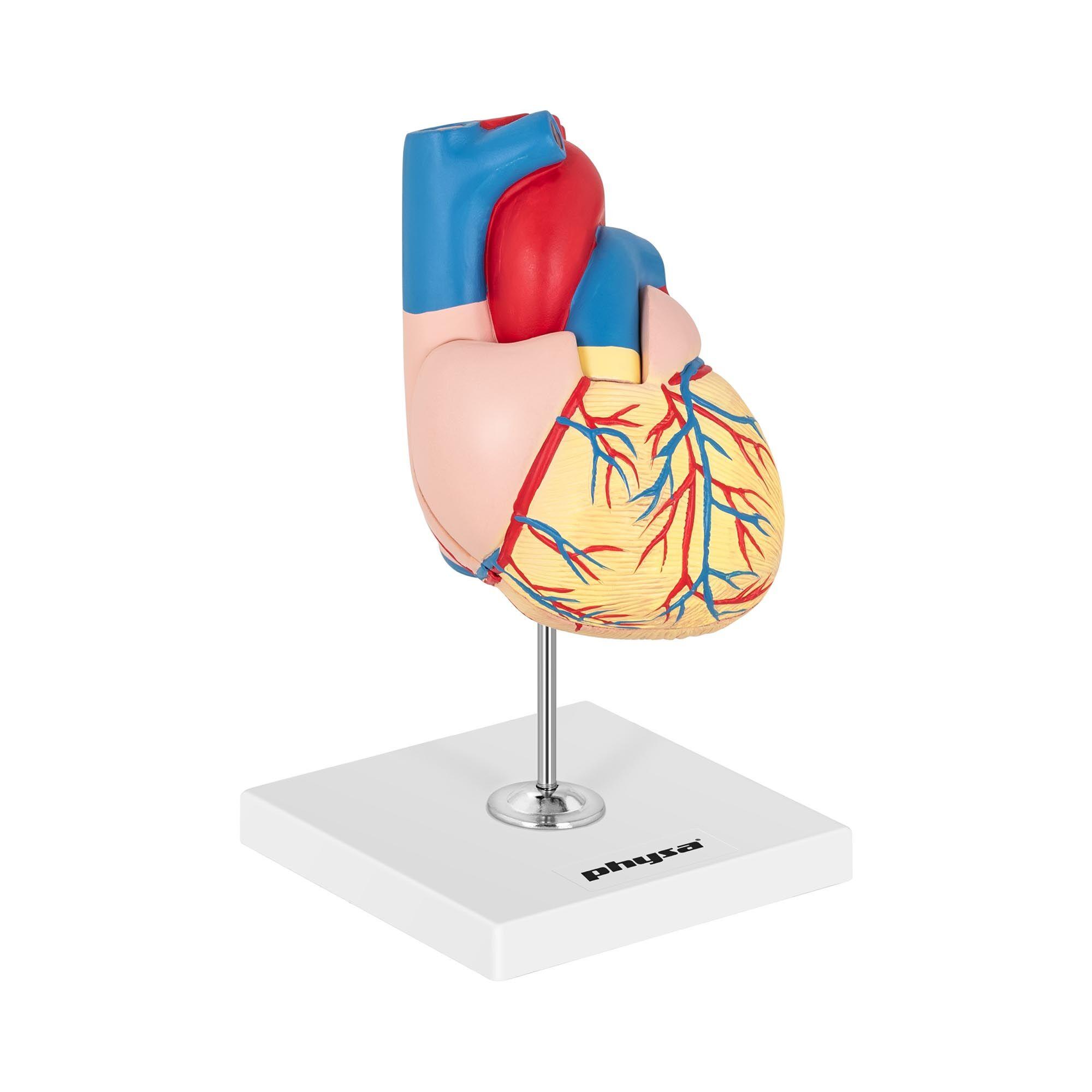 physa Maquette anatomique du cœur humain - En 2 parties - Grandeur nature PHY-HM-2