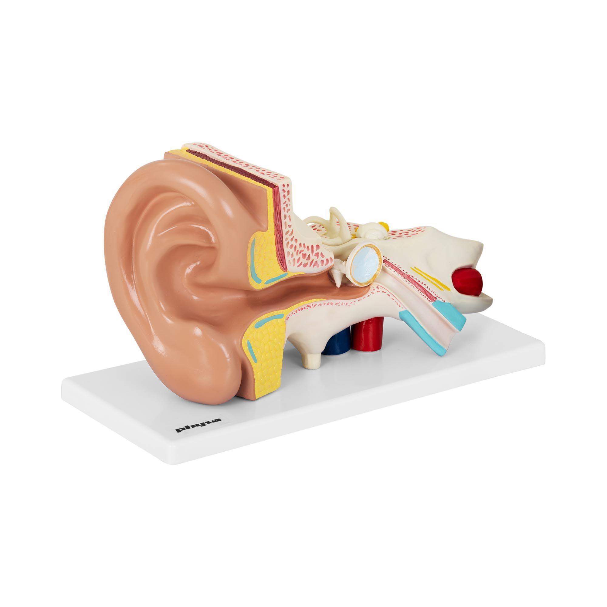 physa Maquette anatomique de l'oreille humaine - En 4 parties - 2 fois la taille réelle PHY-EM-1