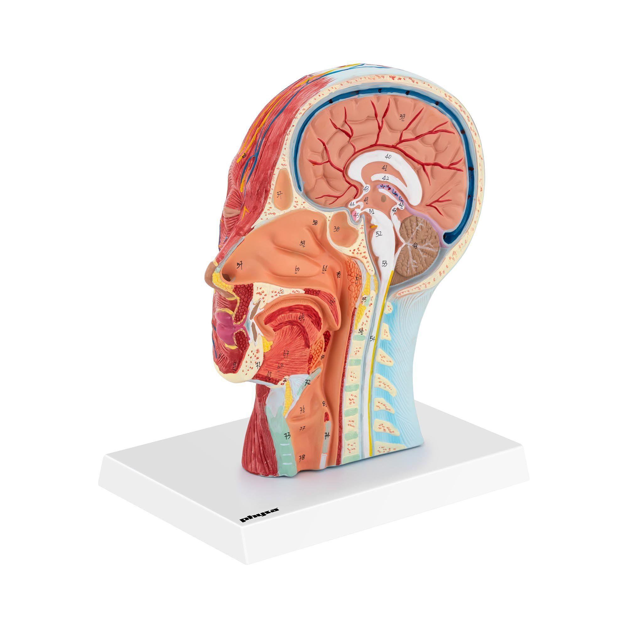 physa Maquette anatomique de la tête et du cou - Coupe médiane - Grandeur nature PHY-HM-4