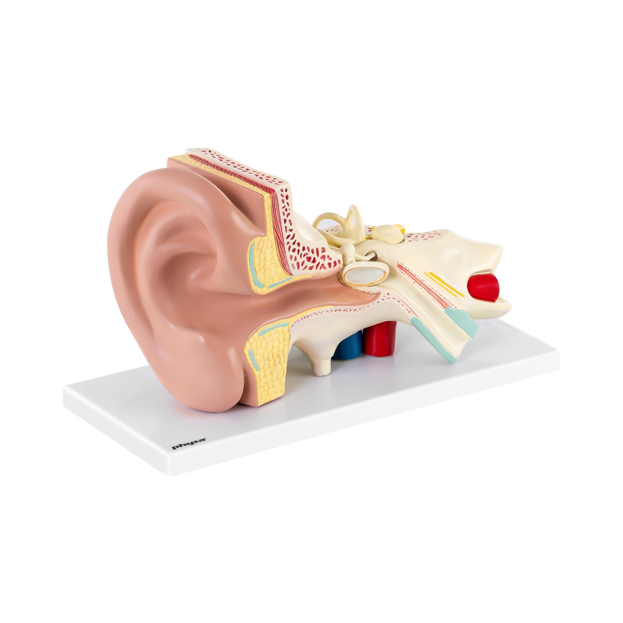 physa Maquette anatomique de l'oreille humaine - En 4 parties amovibles - 3 fois la taille réelle PHY-EM-2