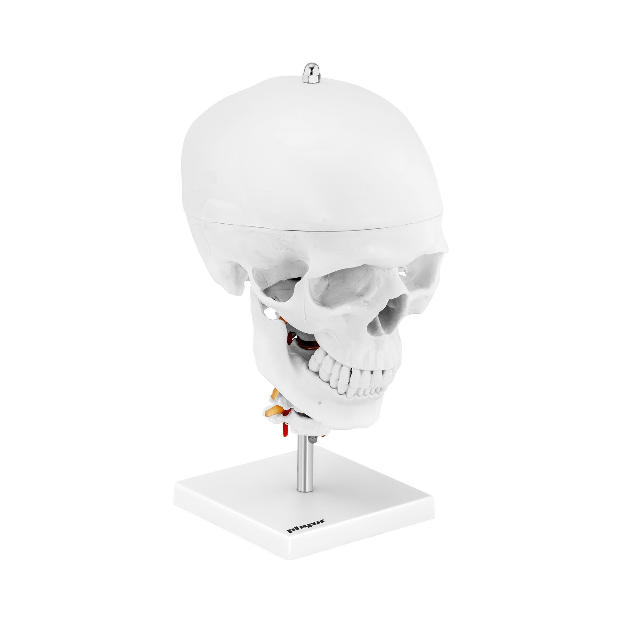 physa Maquette anatomique du crâne humain - Avec 7 vertèbres cervicales et cerveau - Grandeur nature PHY- SK-8