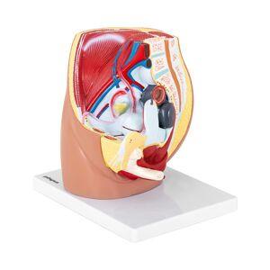 physa Maquette anatomique bassin et appareil génital féminin - En 3 parties - Grandeur nature PHY-FP-4 - Publicité