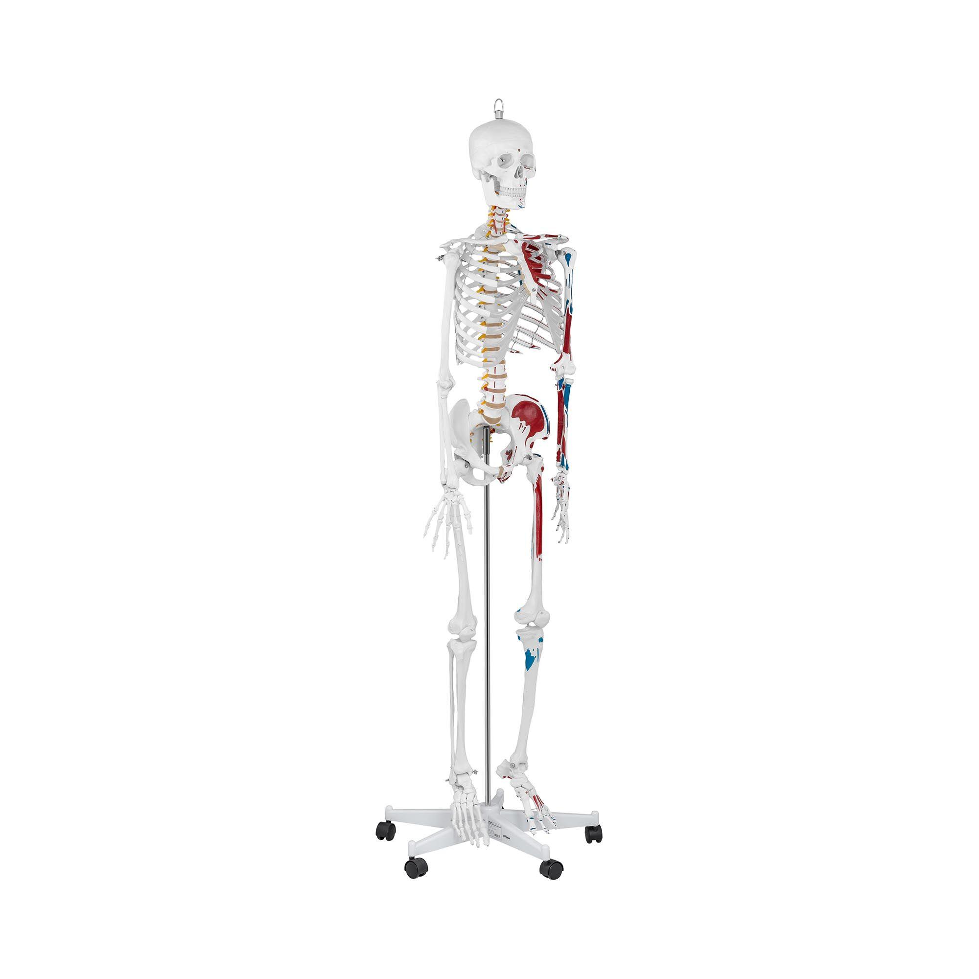 physa Maquette du squelette humain PHY-SK-2 - grandeur nature