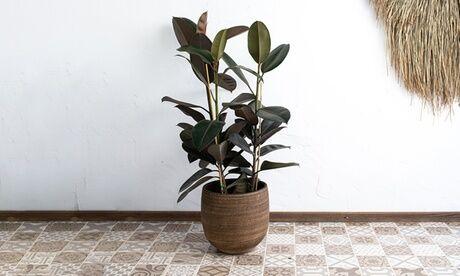 Groupon Goods Global GmbH Ficus elastica XL