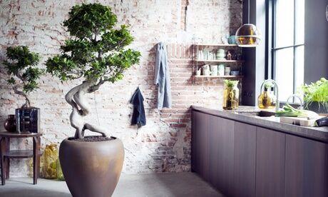 """Groupon Goods Global GmbH Plant de """"Ficus Ginseng XL"""" avec ou sans bouteille d'engrais spécial bonsaï 250 ml"""