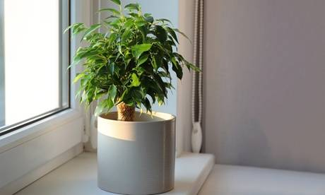 Groupon Goods Global GmbH Lot de 3 Ficus 'Benjamina' avec jute de protection