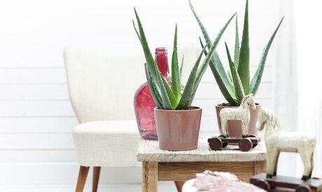 Groupon Goods Global GmbH Set de 4 plantes Aloe Vera, livées en pot en céramique