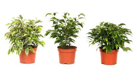 Groupon Goods Global GmbH Lot de 3 plantes d'intérieur, 'Ficus Benjamina', 'Kinky Green' and 'Natasja'