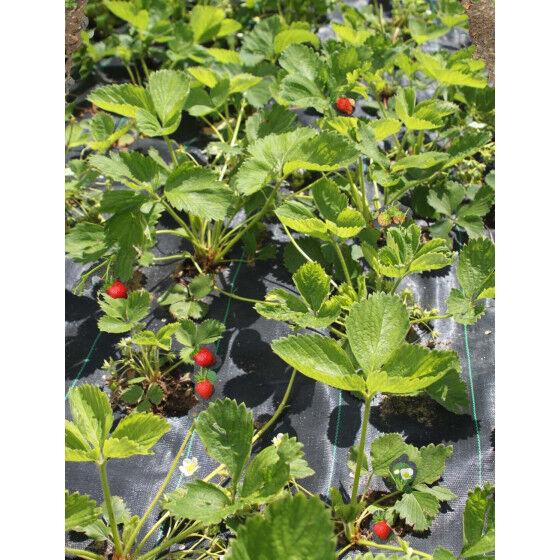 Jardin et Saisons Toile de paillage perforée fraisiers 1,05 m
