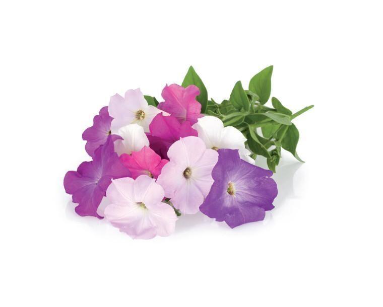 Click and Grow Recharge triple de Pétunias pour Smart Garden - Click and Grow