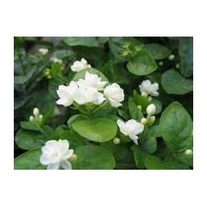 SVI Gratuit Seeds Expédition Jasmin Blanc, plante odorante Arabian Jasmine Flower Seed 20 particules / sac - Publicité