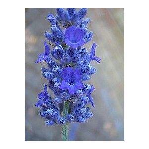 SVI 50 graines consoude Symphytum officinale Graines de fleurs Nouveau jardin plante - Publicité