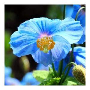 SVI Rare Graines de pavot bleu de l'Himalaya Hardy Fleur 50pcs / lot Ornement de fleur de pavot Graine jardin Bonsai Usine Fleur - Publicité