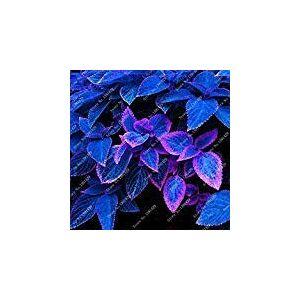 SVI Lot de 100 graines de coleus bleues De belles plantes  fleurs Pour bonsa en pot - Publicité
