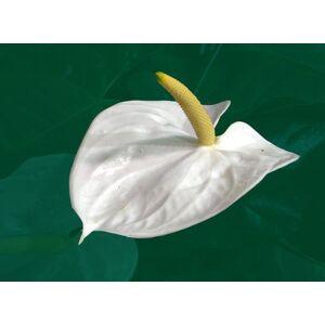SVI 100 pices rares graines de fleurs blanc Anthurium Graines Balcon pot de fleur pour les plantes bricolage jardin - Publicité