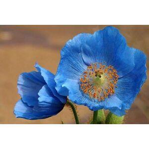 SVI Rare Seeds Bleu Himalaya Coquelicot, Paquet professionnel, 100 graines / Paquet, Trs Belle Hardy Fleur NF581 - Publicité