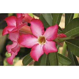 SVI nouvelle arrivée 24 couleurs rares désert rose graines réelles Thalande Adenium obesum graines de fleurs plantes bonsa mini-arbre 2pcs fleur géante - Publicité