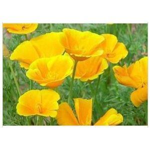 SVI Graines de pavot de Californie Eschscholzia Californica Graines Herbe Jaune 30 graines / Paquet Graines Jardin Décoration Bonsai Fleur - Publicité