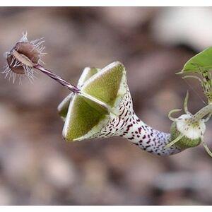 SVI graines Ceropegia graines Woodii 100PCS Fleurs Rare Flower Garden Home Bonsai Parachute Ceropegia haygarthii var monde. distincta - Publicité