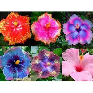 SVI 2016 nouveaux arrivants 100 Graines géant Hibiscus Exotic Coral Flowers Mix Couleurs rares Livraison gratuite - Publicité