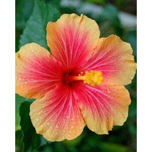 SVI 50PCS 24 couleurs différentes japonaises fleurs d'hibiscus en pot de graines de jardin bonsa cour graines Hibiscus - Publicité