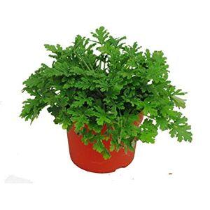 SVI Famille Geraniaceae Pelargonium Graveolens Graines 200pcs, Parfum rose Pelargonium Fleur Graines, QU Weng (CAO Graines de géranium Rose - Publicité