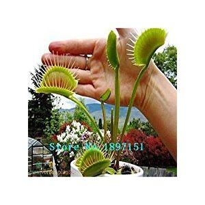 SVI Big Sale Dionaea Graines Muscipula géant clip Venus Fly Trap Graines 300pcs Graines de fleurs - Publicité