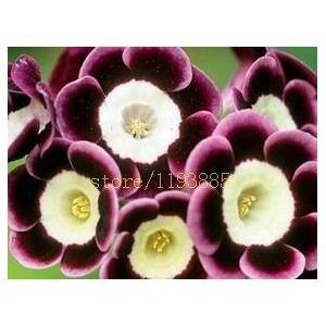 SVI 100 pcs graines primevre fleur de semences rares européen Primrose, malacoides Primula, saisons de plantation - Publicité