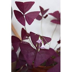 SVI 3 Packs 6 de Red Oxalis triangularis woodsorrel Flower Seeds A058 - Publicité