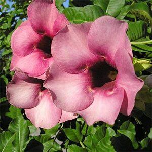SVI Rouge: Big Sale !!! 100Pcs Belles Allamanda Graines rares Graines de fleurs Plante en pot Diy jardin - Publicité