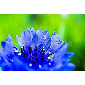 SVI 1bag = 100pcs graines de Bleuet rare Centaurea étoile Thistle centaurées graines Basketflower bonsa Maison & Jardin - Publicité