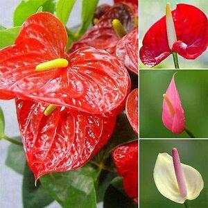 SVI 100 / sac de graines de Anthurium, les graines en pot, graines de fleurs, variété complte, le taux de bourgeonnement de 95%, (couleurs mélangées) semences pour la maison jardin - Publicité