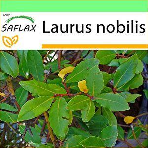SAFLAX Laurier vrai 6 graines Laurus nobilis - Publicité