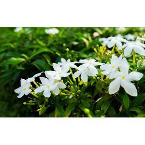 SVI Lot de 10 graines de jasmin (gardénia jasminodes) Arbuste exotique parfumé Pollinate ouverte rare, belle fleur de bonsa. Publicité