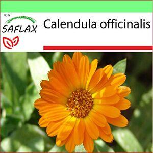 SAFLAX Jardin dans la bote Souci 50 graines Calendula officinalis - Publicité