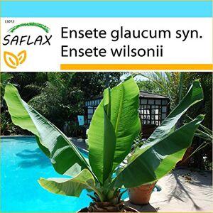 SAFLAX Kit cadeau Bananier des neiges 10 graines Ensete glaucum syn. Ensete wilsonii - Publicité